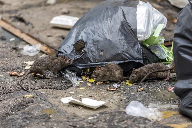 Les rongeurs sont attirés par les déchets, mais pas que !